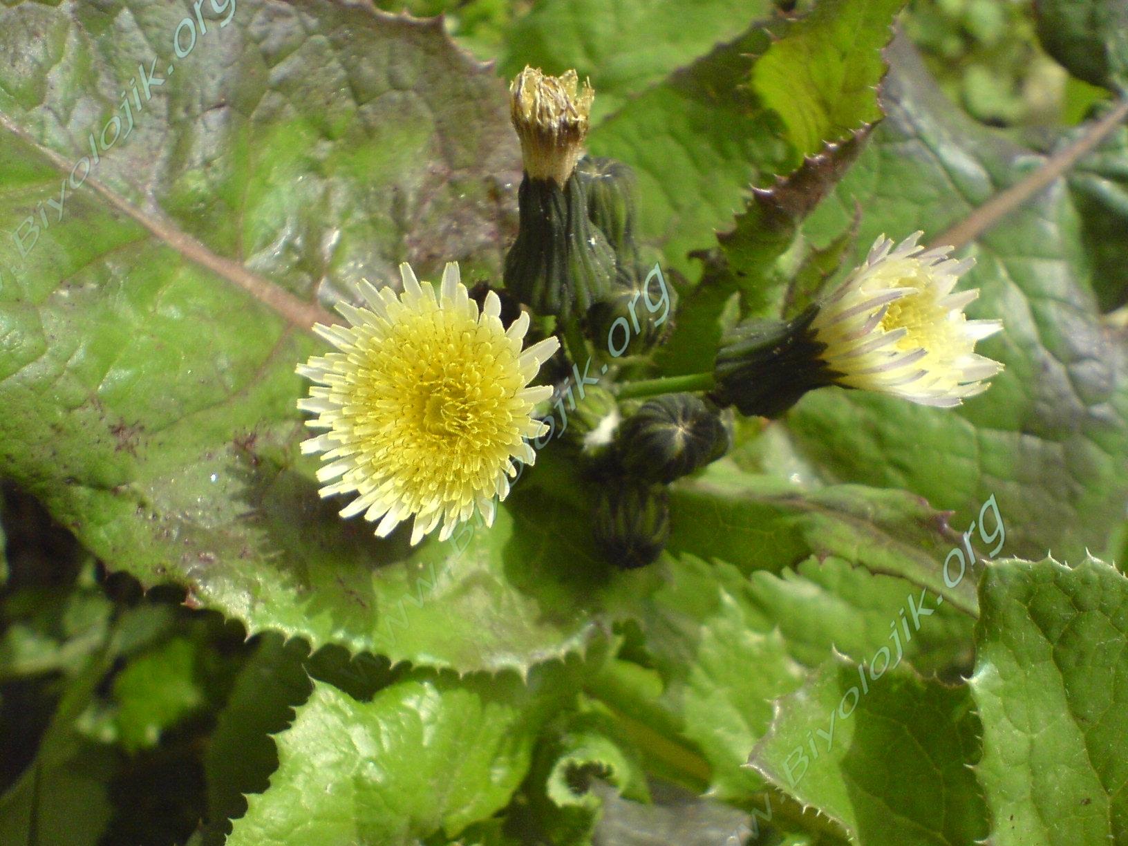bitkisistematiği